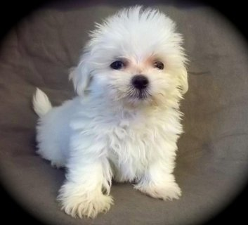 Trained Teacup Maltese Puppies