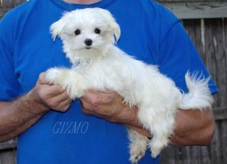 Two AKC Teacup Maltese Puppies for Adoption