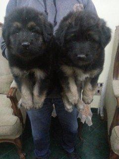 لوراغبي كلاب الحرسات