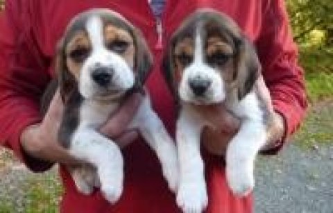 Healthy  Beagle Puppies  Available Now contact for details