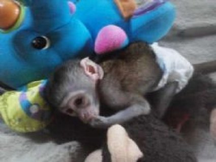 cute male and female capuchin monkeys for adoption