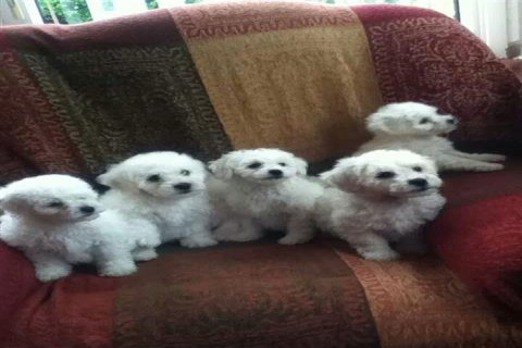Bichon Frise Puppies Ready To Go To Loving Home