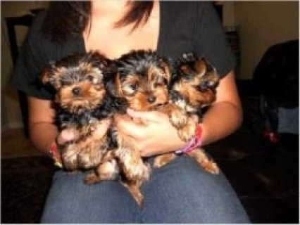 Parti Carrier Yorkshire Terriers
