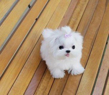 Beautiful Teacup Maltese Puppies Sale