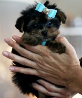 Cute Akc Registered Yorkie puppies To Good & Lovely homes!