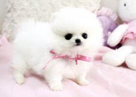 الحلو ووفليي جرو كلب صغير طويل الشعر  للذهاب إلى الحيوانات الألي