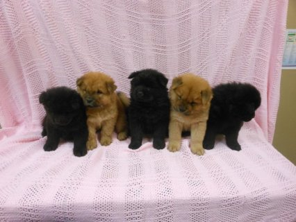 Very Playful Chow Chow Pups For Sale