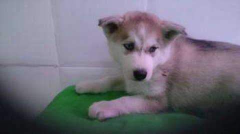 Adorable husky puppies for adoption