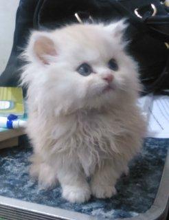 اجمل القطط الشيرازي