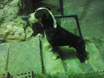 كلب بيتبول للبيع كريت كلر