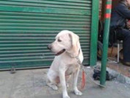 للبيع كلب لابلدور ابيض  عاشق للعب ومدرب طاعة