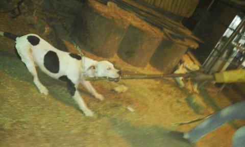 كلب بيتبول قرصان بيموت يصلح لحراسة الفلل والمصانع