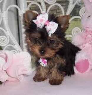 Teacup Yorkie Available
