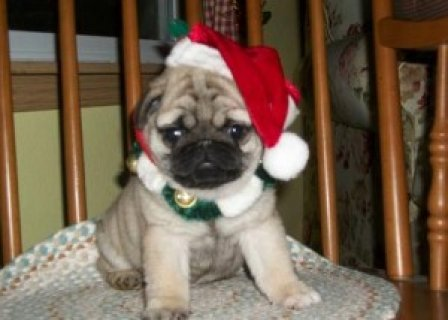 ittle girl is registered Pug Puppies Ready to go