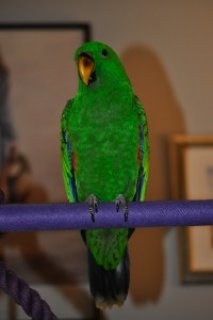 Male And Female Solomon Island Eclectus Parrot