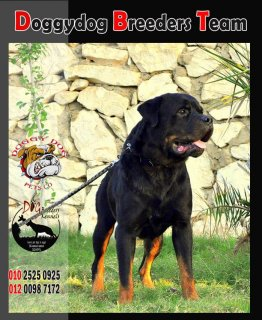 for sale puppies rottweilers now 45 days