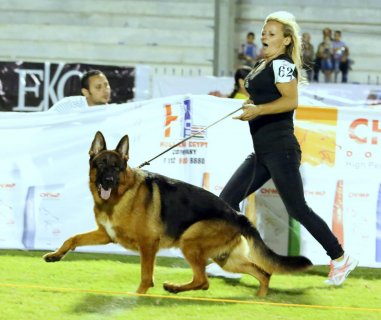 for sale puppies German SHepherd  now 35 days