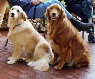 كلاب جولدن روتيفر