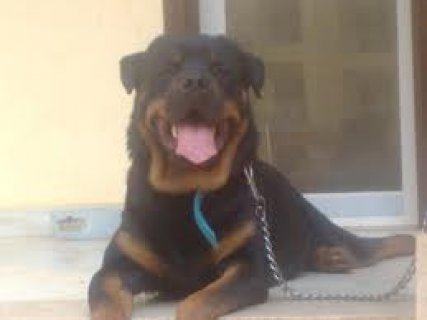 for sale rottweiler puppies In alexndria