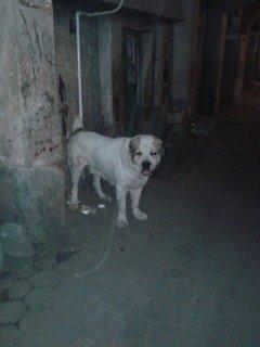 كلب الاباي متوحش مصارع حيوانات وبني ادمين