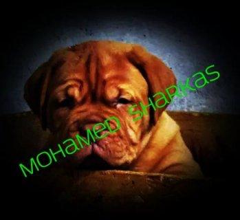 جراوى فرنش ماستيف اهالى مستورده محمدشركس01009930024