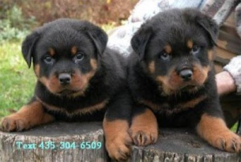 Registered Rottweiler Puppies