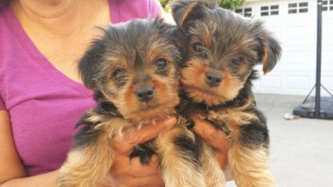 Three Teacup Yorkie Puppies Available