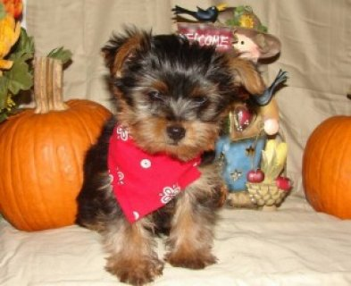 AKC Beautiful Yorkie Puppies