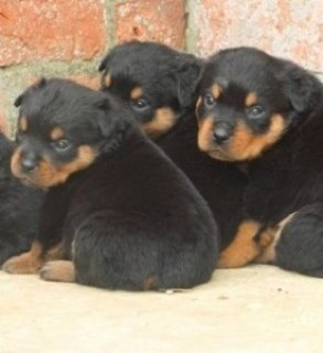 Super Boston terrier Pups