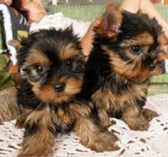 Teacup Yorkie just in time of X-mas
