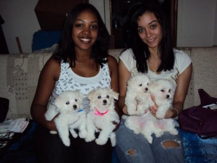 AKC Maltese Puppies