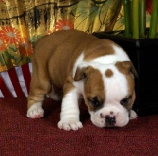 akc English Bulldog Pups for Adoption