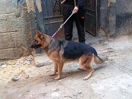 كلبه جيرمان ام  ولدت مرتين بس من الاخر رررر