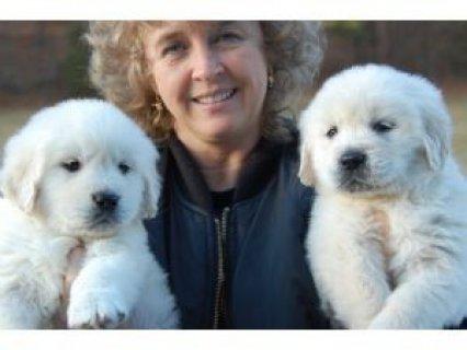 Two Adorable Retrievers for Adoption