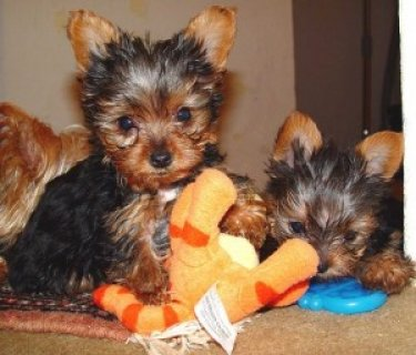 Yorkies for Yorkies for Adoption