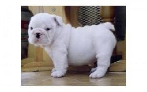 Home Raised English Bulldog Puppies