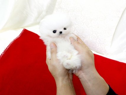صور Pomeranian Puppies for adoption....... 1