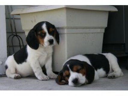 Cute Beagle Puppies,,,,,.........