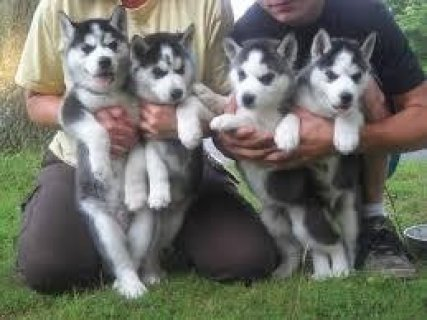 male and female Huskies for Sale