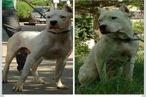 كلب دوجو ارجنتينو