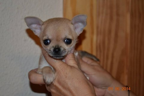 كلبة شيواوا عمر شهر حجم الكف
