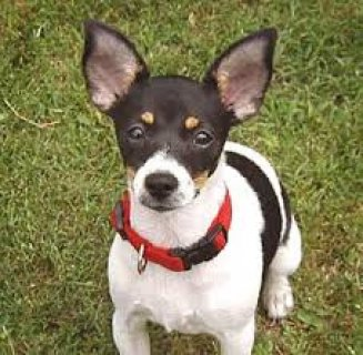 rat terrier stud ready to go