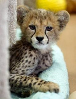 Cheetahs, Pure servals, F1 savannahs , Caracal kittens White & S