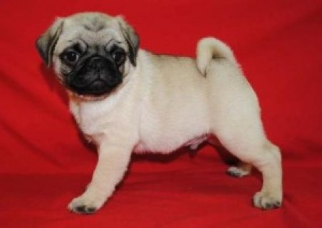 Very Beautiful Pug Puppies Available Now