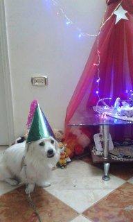 كلب لولو فرنساوى