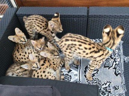 القطط F1 السافانا الغريبة واشابيل متاح