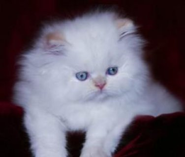 House Trained Persians Kittens Ready For Sale
