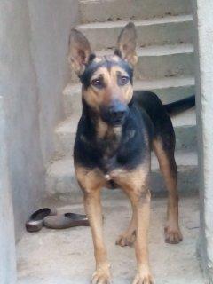 كلب بلاك جاك الماني عمر سنه ونصف