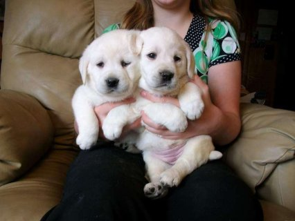 We have 1 female, 1 male puppies Labrador retriever
