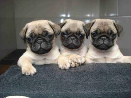 Tiny Gorgeous Healthy/Socialize Pugs. contact us